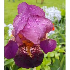 ИРИС БОРОДАТЫЙ фиолетово-бордовый