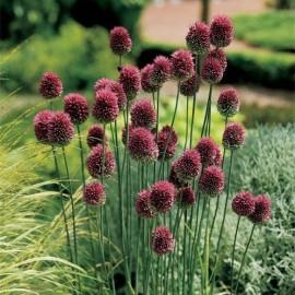 АЛЛИУМ Сфаероцефалон (Allium sphaerocephalon)
