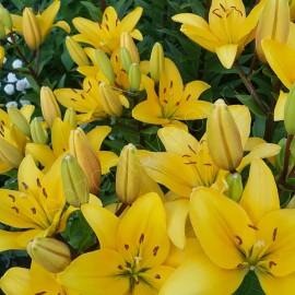 Лилии GIRONDE желтого цвета