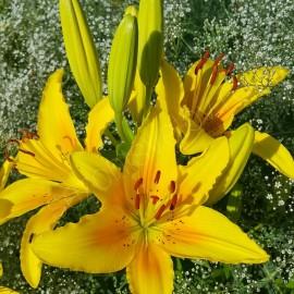 Лилии POLLYANNA желтые с крапом