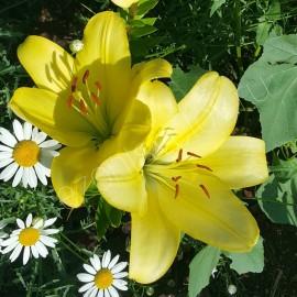 ЛИЛИИ светло-желтые