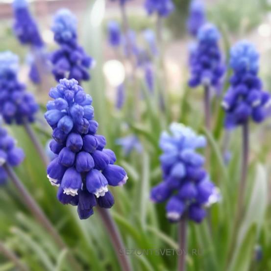 МУСКАРИ двухцветный голубой с синим