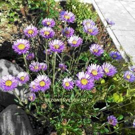 Астра альпийская сиреневые цветы