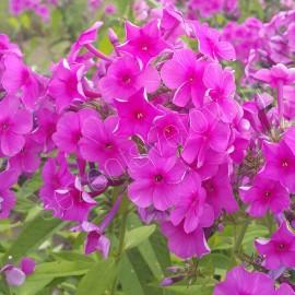 ФЛОКС МЕТЕЛЬЧАТЫЙ малиново-фиолетовый
