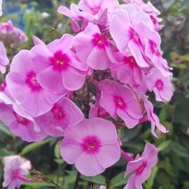 ФЛОКС МЕТЕЛЬЧАТЫЙ розовый с малиновым центром