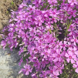 ФЛОКС ШИЛОВИДНЫЙ сиренево-розовые цветы