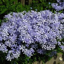 ФЛОКС РАСТОПЫРЕННЫЙ голубые цветы