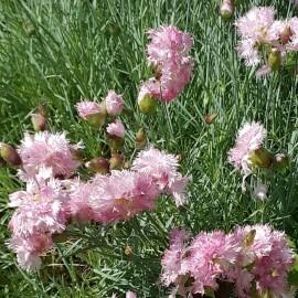 ГВОЗДИКА ПЕРИСТАЯ махровые нежно-розовые цветы