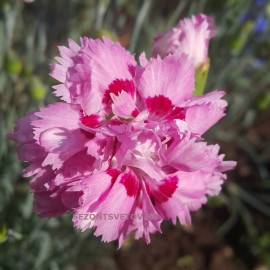 ГВОЗДИКА ПЕРИСТАЯ махровые розовые с красной серединой