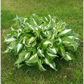 Хоста №2 листья по центру белые, волнистые