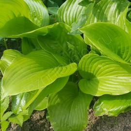Хоста №3 светло-зеленые листья