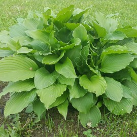Хоста №1 темно-зеленые листья