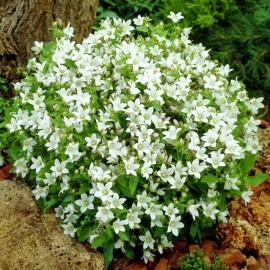КОЛОКОЛЬЧИК молочноцветковый WHITE POUFFE