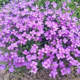 ОБРИЕТА ярко сиреневые цветы