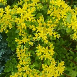 ОЧИТОК КАМЧАТСКИЙ Variegata желтые цветы