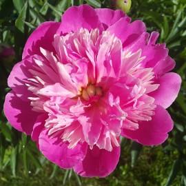 ПИОН ТРАВЯНИСТЫЙ розовый махровый
