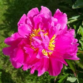 ПИОН ТРАВЯНИСТЫЙ розовый с желтыми тычинками