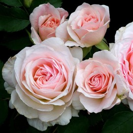 Роза MODERN BLUSH
