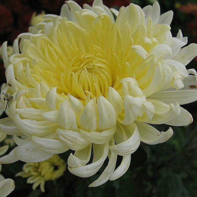 фото разновидностей японских хризантем выделила отдельно